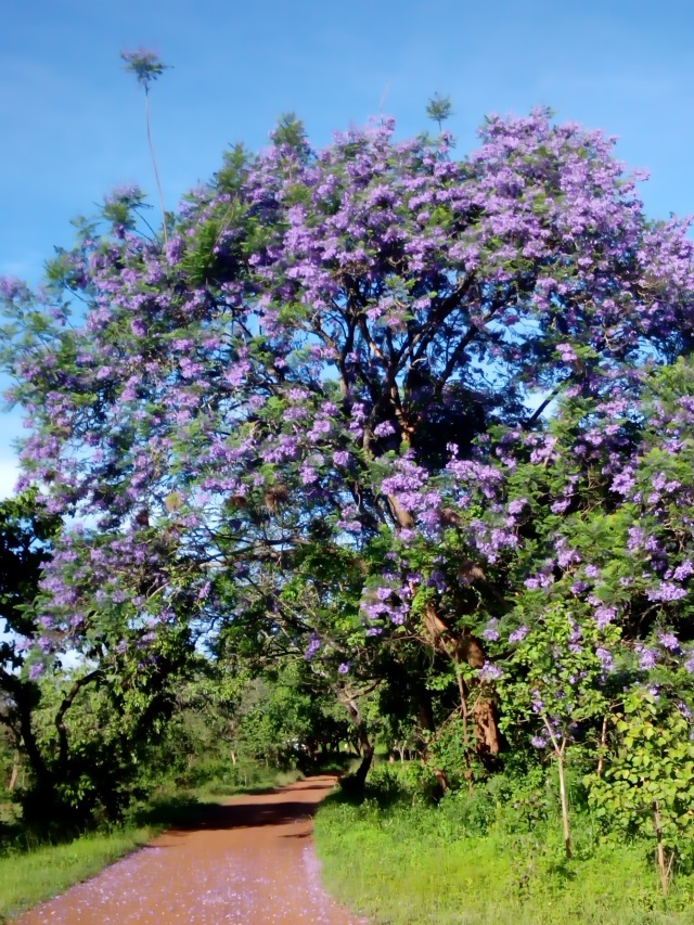 Our Driveway -- that Jacaranda is very happy this year.